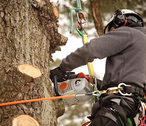 Payne Tree Care employee cutting a tree down